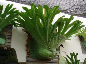 Giant staghorn fern